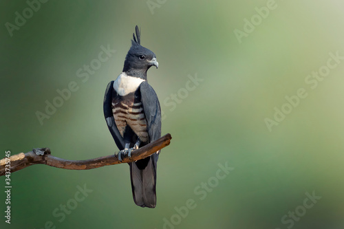 Fotografia, Obraz Image of black baza (Aviceda leuphotes) perched on a branch