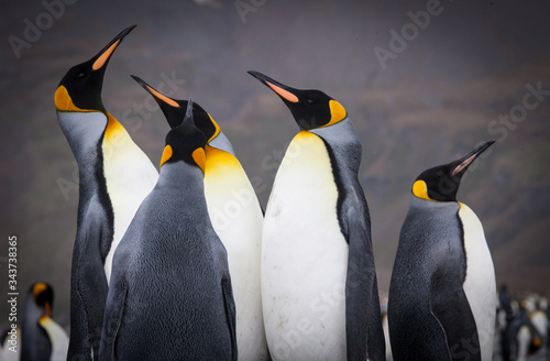 Fototapety, obrazy: Beautiful King Penguins Looking All Around