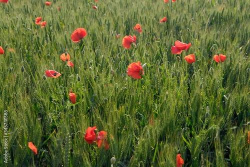 Champ de blé envahi par des coquelicots Slika na platnu