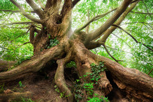 Impressively Shaped Tree Trunk And Roots With Green Foliage And Soft Light Rays Falling Through Its Branches