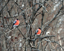 Males Bullfinch Sitting On A Branch In The Winter Forest
