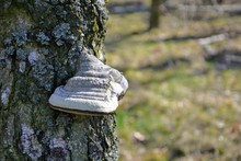 Birch (Betula) Tree Closeup With Polypores (or Bracket Fungi) Growing On A Tree.