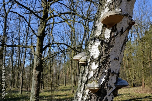 Fotografie, Tablou Birch (Betula) tree closeup with polypores (or bracket fungi) growing on a tree and trees silhouettes in the background