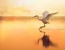 Backlit Little Egret, Egretta ...