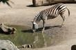 zebra in a zoo in lille (france)