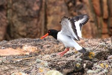 Side View Of Oystercatcher Lan...