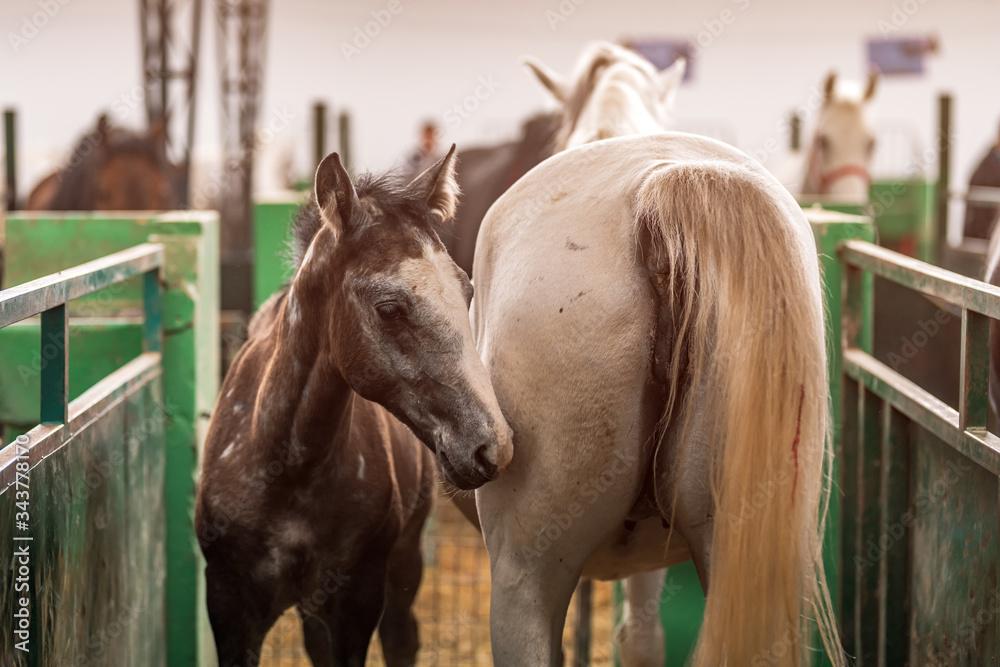 Fototapeta Horse foal and mare in paddock