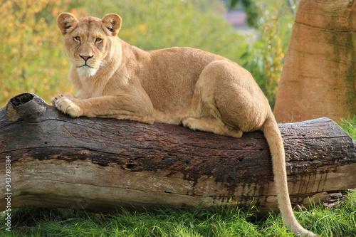 Fototapeta lioness in a zoo in france