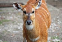 Sitatunga In A Zoo In Berlin (...