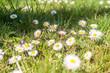 Małe białe kwiatki stokrotki wiosna na łące