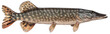 Freshwater fish isolated on white background closeup. The northern pike, also known as simply pike or  luce, or jackfish  is a  fish in the family Esocidae, type species: Esox lucius