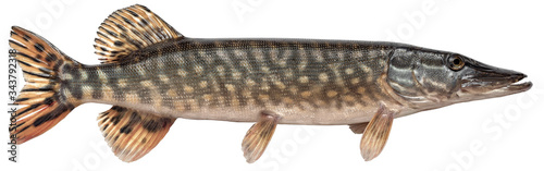 Fototapeta Freshwater fish isolated on white background closeup. The northern pike, also known as simply pike or  luce, or jackfish  is a  fish in the family Esocidae, type species: Esox lucius obraz
