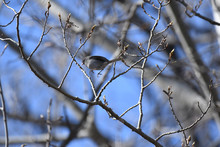 Dark-eyed Junco Catched In Mid-air, Jumping From One Branch To Another, With Blue Sky