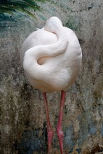 Close-up Of Flamingo Resting Against Wall