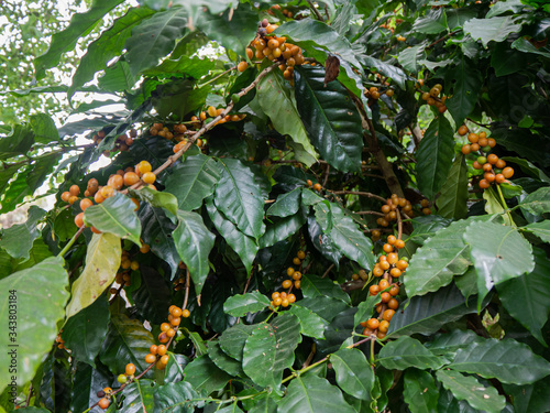 Cherry coffee beans of coffee, green coffee, Arabica coffee Thailand Canvas Print