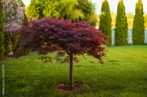 Photo Red foliage of the weeping Laceleaf Japanese Maple tree (Acer palmatum) in garde