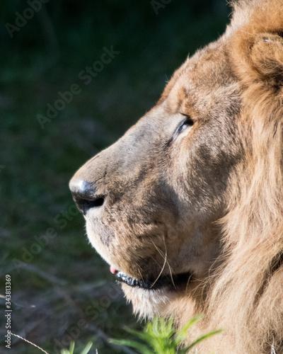 Fototapety, obrazy: portrait of a lion