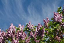 Lilac Flowers Over Blue Sky Fo...