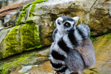 Close-up Of Lemur Relaxing On Rock