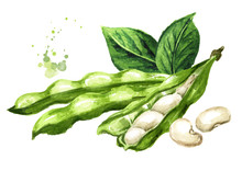 Open White Kidney Beans Pod With Leaves. Hand Drawn Watercolor Illustration, Isolated On White Background