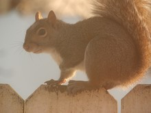 Side View Of Squirrel On Woode...