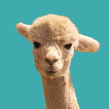 Funny Looking Alpaca On Blue Background