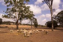 Herd Of Alpacas On A Dry Farm