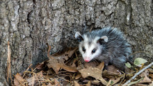 Baby Opossum With Pink Nose Standing In Leaves In Front Of Tree