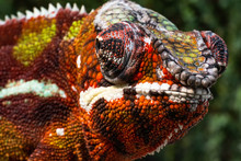 Chameleon Furcifer Pardalis Am...