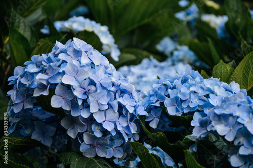 Fototapeta Close-up Of Blue Hydrangea Flowers