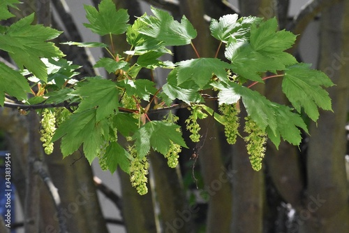 Branches with flowers of Acer Pseudoplatanus tree, known as the Sycamore or the Sycamore Maple Wallpaper Mural