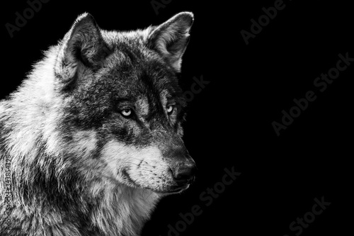 Naklejki wilk  grey-wolf-with-a-black-background-in-b-w