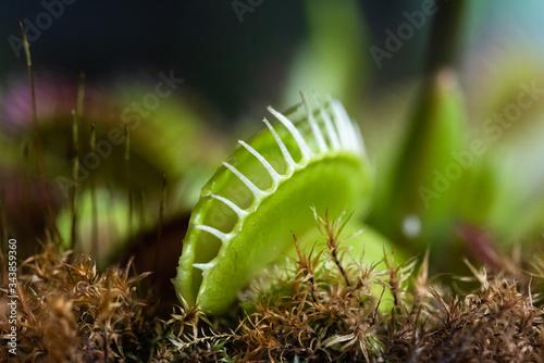Fotomural Pianta carnivora dionaea in giardino