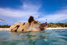 Swimming Pig In The Bahamas, P...