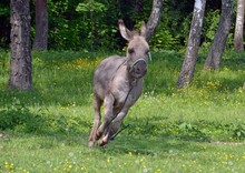 Escape Of A Mischievous Donkey