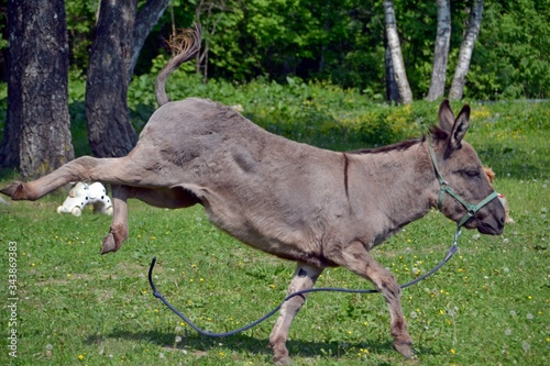The grey donkey kicks with its hind legs Wallpaper Mural