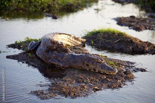 Photo Alligator Resting On Mud