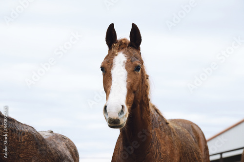 Wet young brown horse portrait close up looking at camera, rainy weather on farm concept.