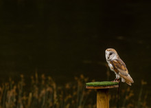 Barn Owl Ready For Flight