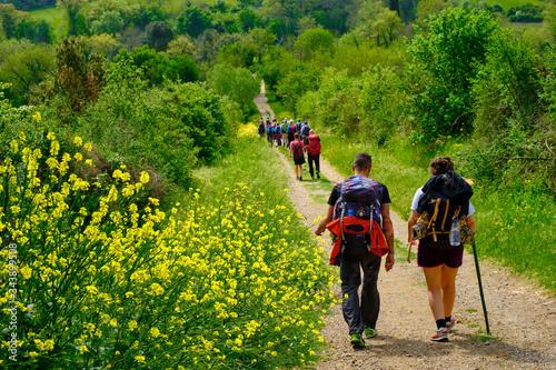 Fototapeta Pilgrims walking on the path to San Gimignano trough woods and yellow bushes