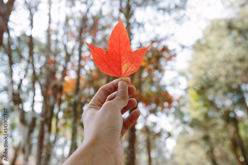 Maple leaf in a hand Canvas Print