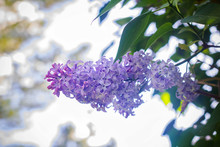 Blooming Lilac Against A White...