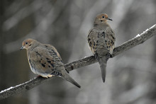 Mourning Doves On A Branch