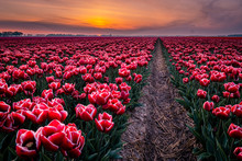 Tulip Fields In The Netherland...