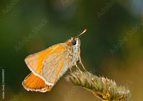 Obraz motyl odpoczywa na kłosie zbliżenie - fototapety do salonu