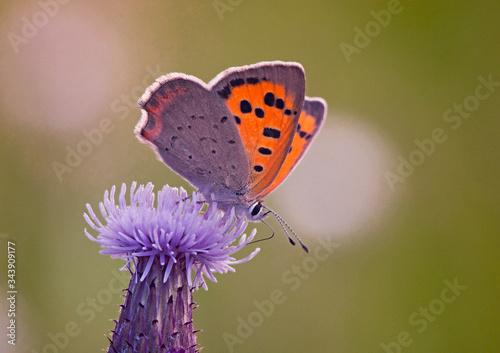 Obraz motylek na kwiatku zbliżenie - fototapety do salonu