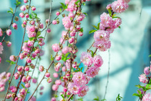 Beautiful Blooming Prunus Triloba Also Called Flowering Almond Bush Branches With Pink Flowers. Spring Nature.