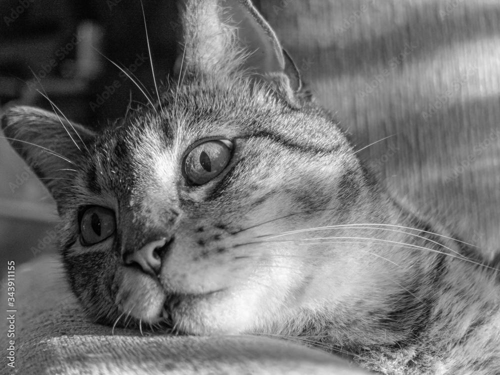 Fototapeta Retrato felino en blanco y negro