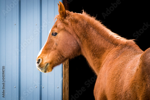 Healthy brown chestnut/sorrel horse wearing a smile and standing next to open stable on ranch.
