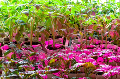 Pepper seedlings are placed under a UV lamp to accelerate growth. Canvas Print
